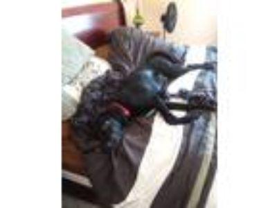 Adopt Artex a Black - with White Bluetick Coonhound / Labrador Retriever / Mixed
