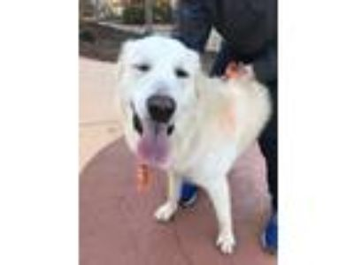 Adopt Shiloh a White Great Pyrenees / Mixed dog in Concord, GA (25026606)
