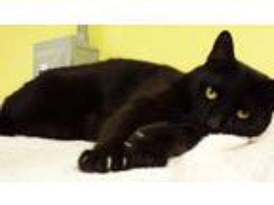 Adopt Enok a Domestic Shorthair / Mixed cat in Osage Beach, MO (20852147)