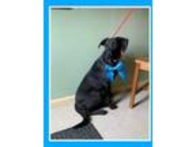 Adopt Linus a Black Labrador Retriever