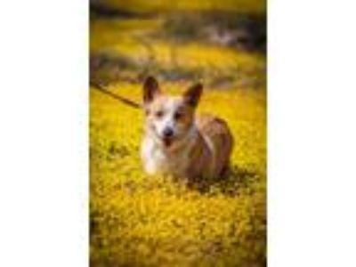 Adopt *Courtosy Post* Mona a Pembroke Welsh Corgi