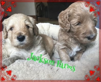 Labradoodle PUPPY FOR SALE ADN-93002 - Multi Generation Labradoodles