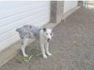 Adopt Castiel (red leather) a Border Collie / Cattle Dog / Mixed dog in Newberg