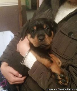 Stunning Pedigree Rottweiler Puppies