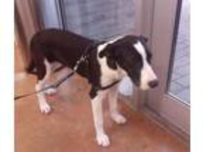 Adopt DAISY a Pointer, Great Dane
