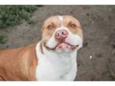 Adopt Fury a Pit Bull Terrier