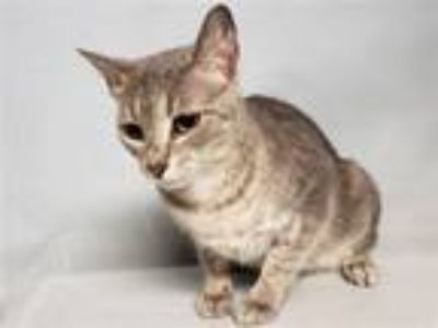 Adopt Air Blossom a Domestic Short Hair