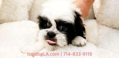 Shihtzu Puppy - Male - M&M ($1,399)