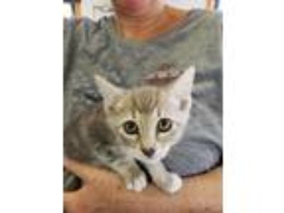 Adopt Orpah a Domestic Shorthair / Mixed (short coat) cat in Lawrenceville