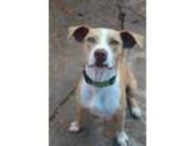 Adopt Haydel a Tan/Yellow/Fawn Catahoula Leopard Dog / Mixed dog in New Orleans