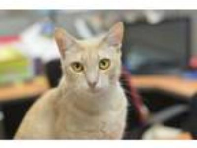 Adopt Sunny 180775 a Domestic Short Hair