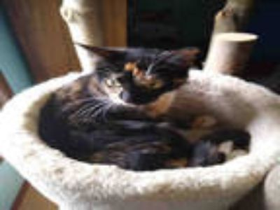 Adopt SWEETY BELL a Calico or Dilute Calico Domestic Shorthair / Mixed (short