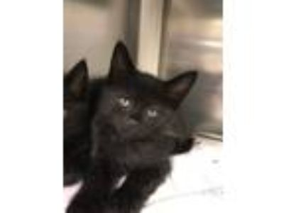 Adopt Patomon a All Black Domestic Shorthair (short coat) cat in Concord