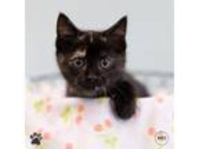 Adopt Pixel a Domestic Longhair / Mixed cat in Richmond, VA (25576423)
