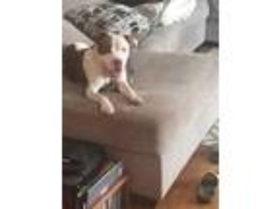 Adopt Moxy HootieCackle a White American Pit Bull Terrier / Mixed dog in