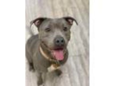 Adopt Kya a Gray/Blue/Silver/Salt & Pepper American Staffordshire Terrier /