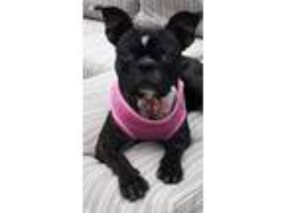 Adopt Olive a Brindle - with White Boston Terrier / Mixed dog in Naperville