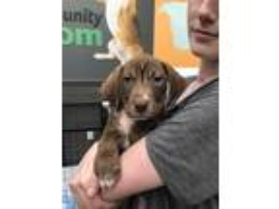 Adopt Taffy a Brown/Chocolate - with White Catahoula Leopard Dog / Pit Bull