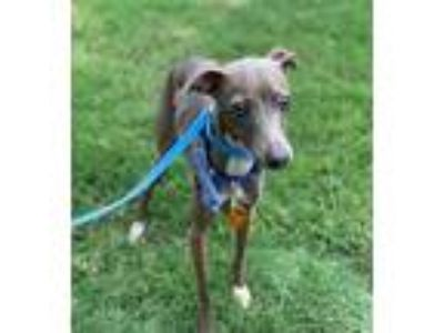 Adopt Graham a Gray/Blue/Silver/Salt & Pepper Italian Greyhound / Mixed dog in