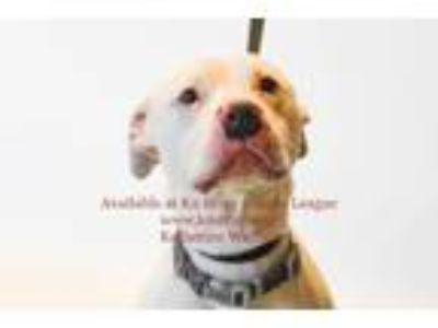 Adopt Eli a Pit Bull Terrier, Mixed Breed
