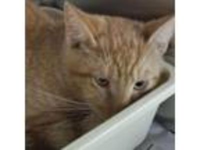 Adopt Babel a Domestic Short Hair