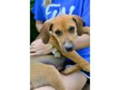 Adopt Lily a Tan/Yellow/Fawn Hound (Unknown Type) / Mixed dog in Derry