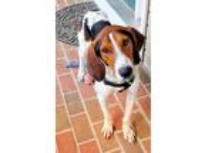 Adopt William a Tricolor (Tan/Brown & Black & White) Treeing Walker Coonhound /