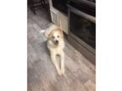 Adopt Zues a Brindle - with White Great Pyrenees / German Shepherd Dog dog in