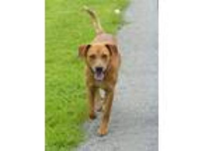 Adopt Red a Red/Golden/Orange/Chestnut Mixed Breed (Medium) / Mixed dog in