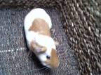 Adopt CHANCE a Tan or Beige Guinea Pig / Mixed small animal in Charlotte