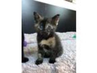 Adopt Teriyaki a Tortoiseshell Domestic Shorthair (short coat) cat in