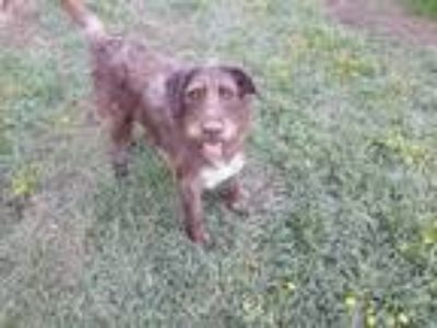 Adopt Molly a Brown/Chocolate Wirehaired Pointing Griffon / Mixed dog in McCall