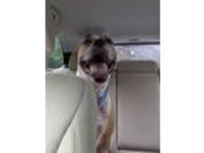 Adopt King a American Staffordshire Terrier, Boxer