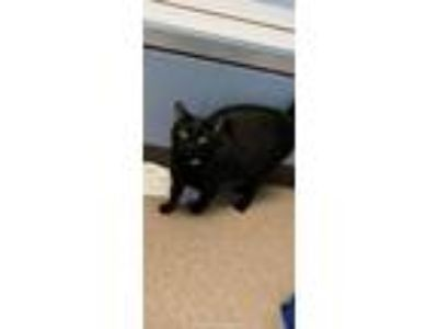 Adopt Teddy Bear a Domestic Shorthair / Mixed (short coat) cat in Utica