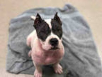 Adopt a Black American Staffordshire Terrier / Mixed dog in Fort Lauderdale