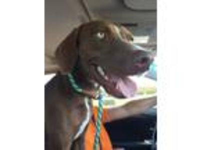 Adopt Jade a Brown/Chocolate Vizsla / German Shorthaired Pointer / Mixed dog in