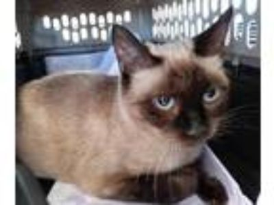 Adopt KITTY a Tan or Fawn (Mostly) Siamese / Mixed (short coat) cat in San