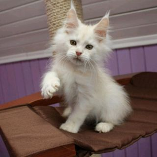 Female maine coon available for sale