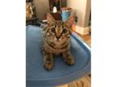 Adopt Goldie a Gray, Blue or Silver Tabby American Shorthair (short coat) cat in
