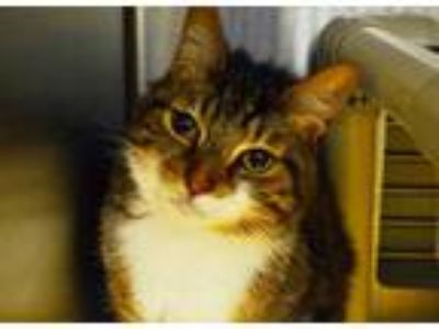 Adopt *ROGER a Brown Tabby Domestic Shorthair / Mixed (short coat) cat in Chapel
