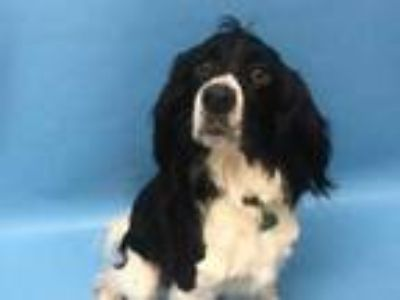Adopt Max a Black Spaniel (Unknown Type) / Mixed dog in Coon Rapids