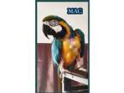 Adopt Mac a Blue Macaw bird in Tampa, FL (20094893)