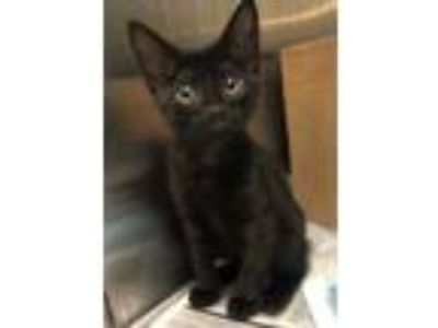 Adopt Bobbie a All Black Domestic Shorthair / Domestic Shorthair / Mixed cat in
