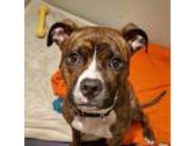 Adopt Rosemary a Brindle Shepherd (Unknown Type) dog in New York City