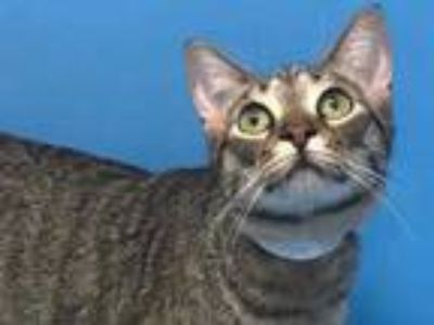 Adopt Toya a Gray or Blue Domestic Shorthair / Domestic Shorthair / Mixed cat in