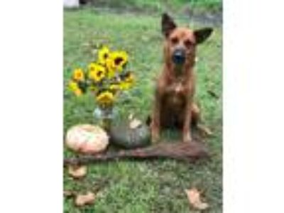 Adopt Rockwell a Red/Golden/Orange/Chestnut German Shepherd Dog / Australian