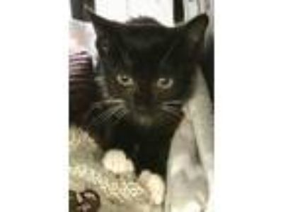 Adopt Sarah a Domestic Short Hair