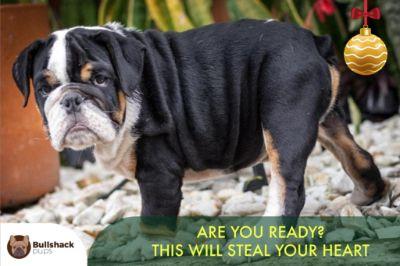 Bulldog PUPPY FOR SALE ADN-105193 - Exotic English Bulldog
