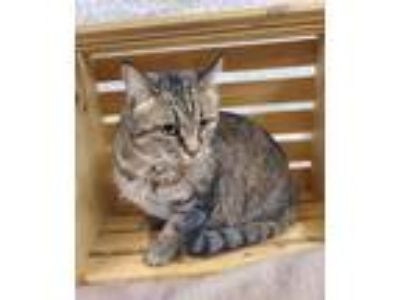 Adopt GERRIE a All Black Domestic Shorthair / Domestic Shorthair / Mixed cat in