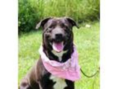 Adopt Irish a Black Labrador Retriever / Chow Chow / Mixed dog in Anderson